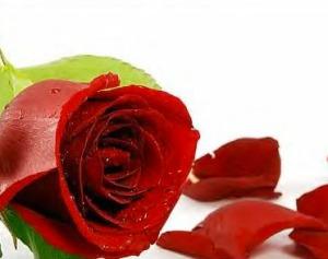 Falling Rose
