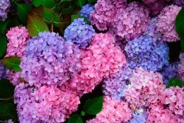 ortensie-blu-e-rosa